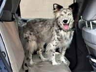 ABO Gear: Canine Car Companion