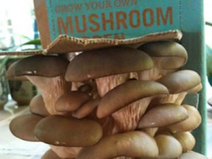 Back to the Roots - Mushroom Kit