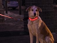 4id: LED Lite Up Collar - Case of 12