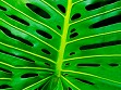 Teaser Wooden Jigsaw Puzzle - Monstera Leaf