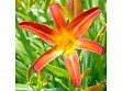 Teaser Wooden Jigsaw Puzzle - Orange Lily