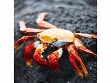 Teaser Wooden Jigsaw Puzzle - Red Rock Crab