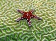 Teaser Wooden Jigsaw Puzzle - Starfish on Brain Coral